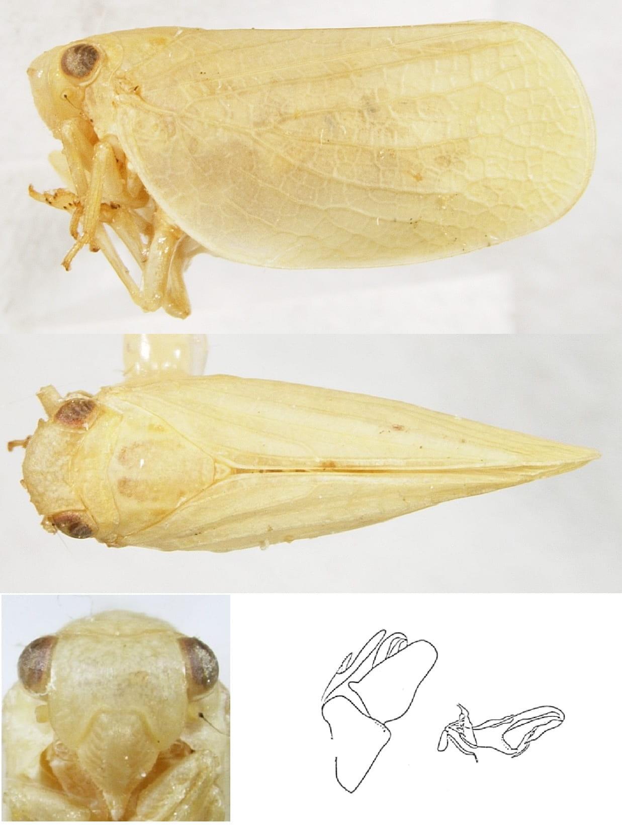 Acanalonia clypeata