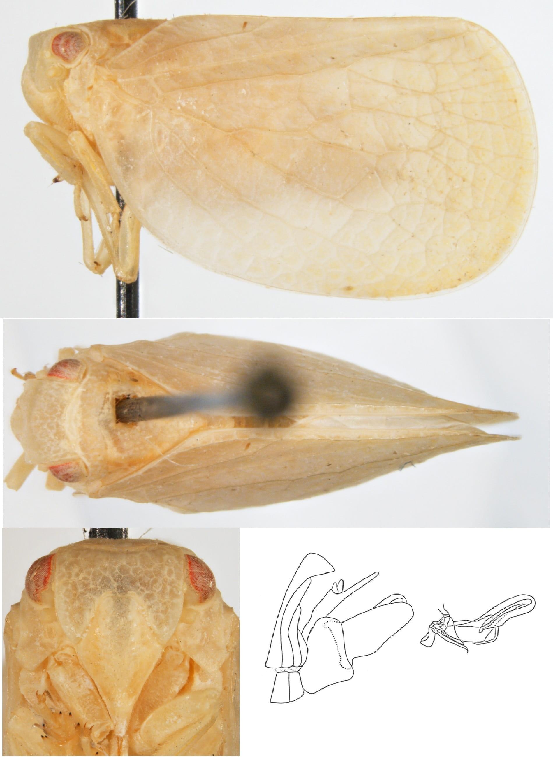 Acanalonia grandicella