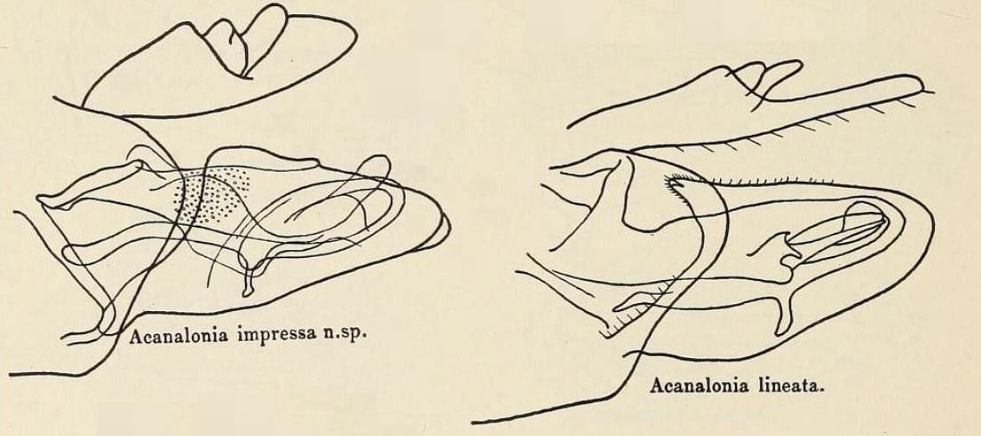 Acanalonia impressa Inow Bulldonia) and A. lineata