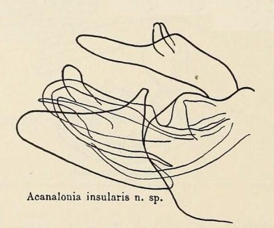 Acanalonia insularis
