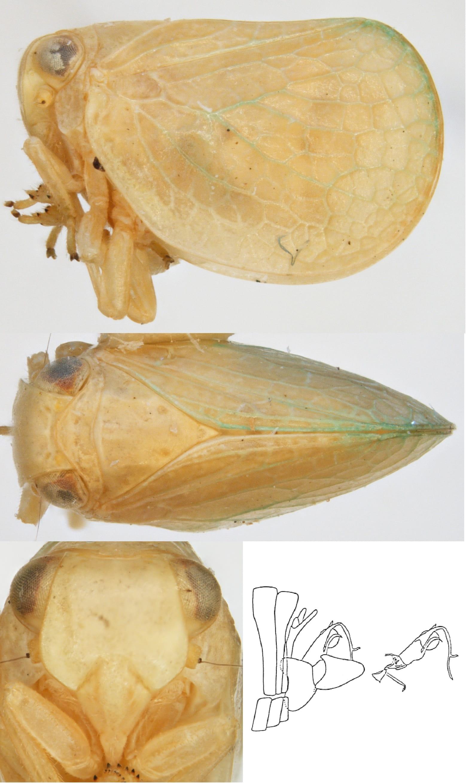 Acanalonia pumila