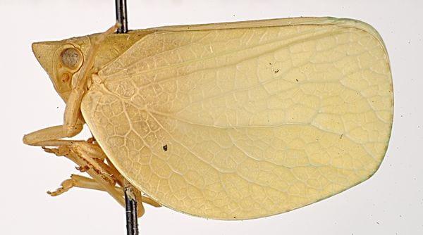 Chlorochara vivida avivida