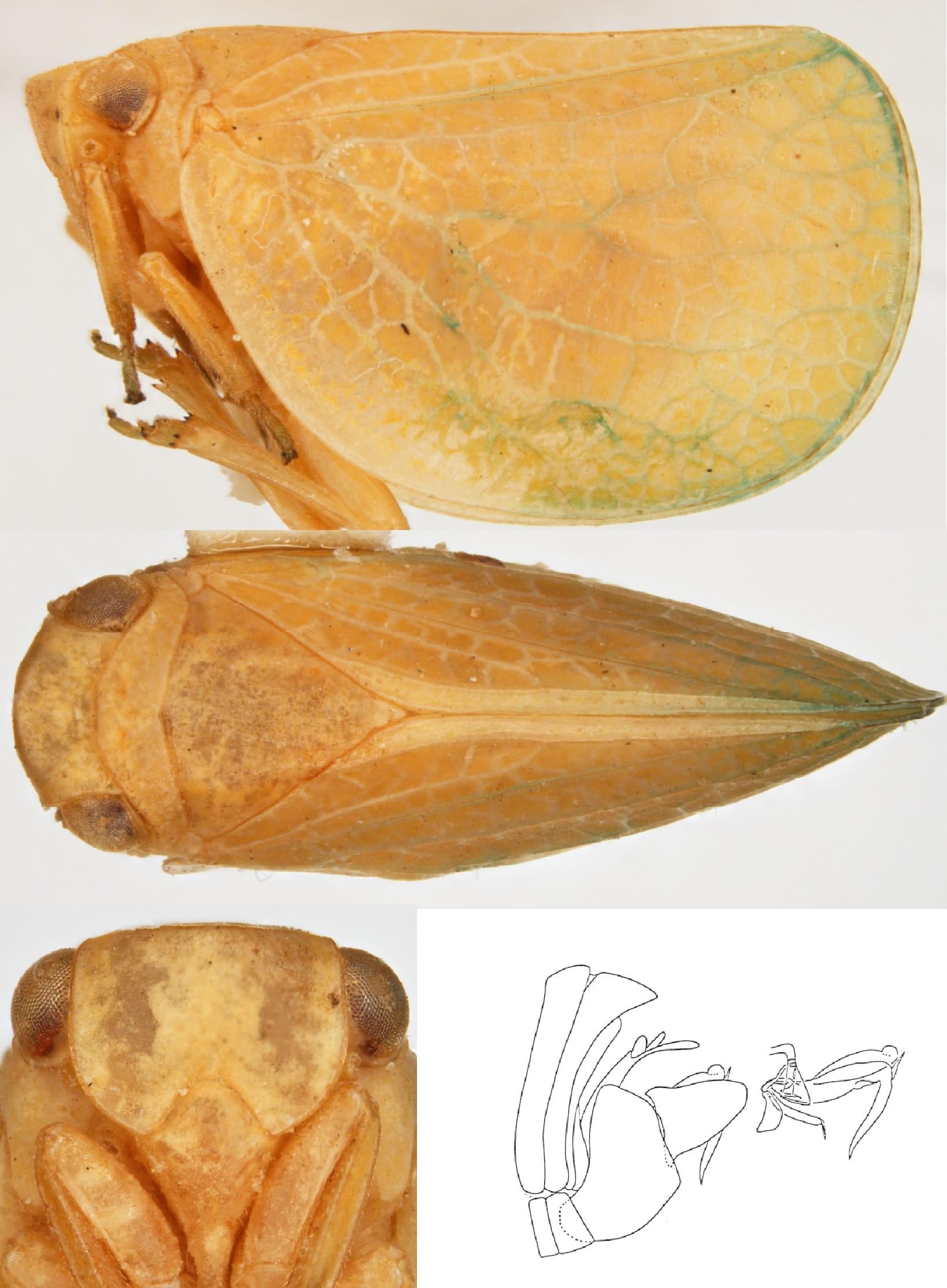 Acanalonia virescens