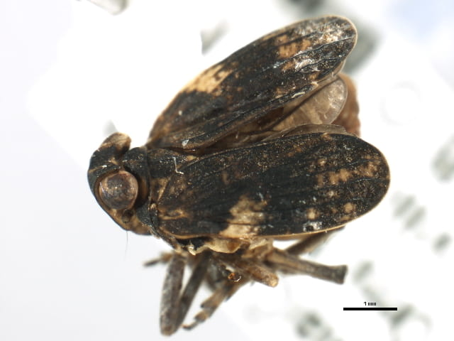 Picumna maculata