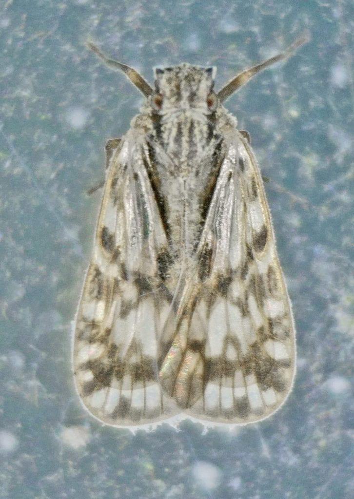 Bothriocera from Texas