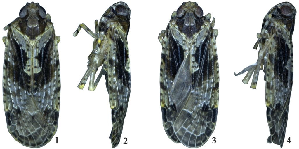 Magadhaideus xiphos sp. n. 1–2 Male habitus (dorsal and lateral views) 3–4 Female habitus