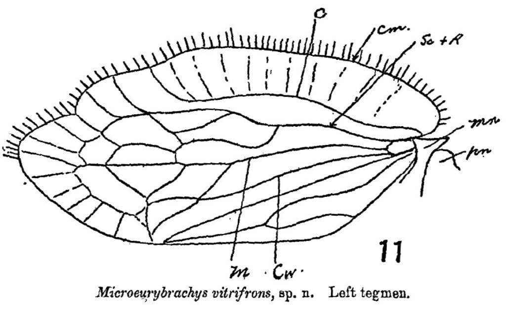 Microeurybrachys vitrifrons forewing