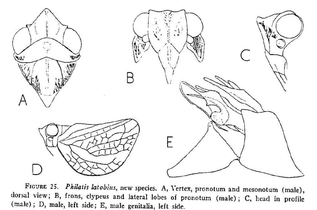 Philatis latobius