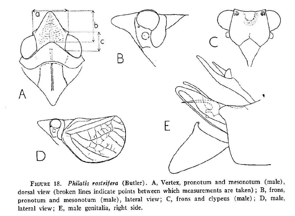 Philatis rostrifera (Butler) from Fennah 1967