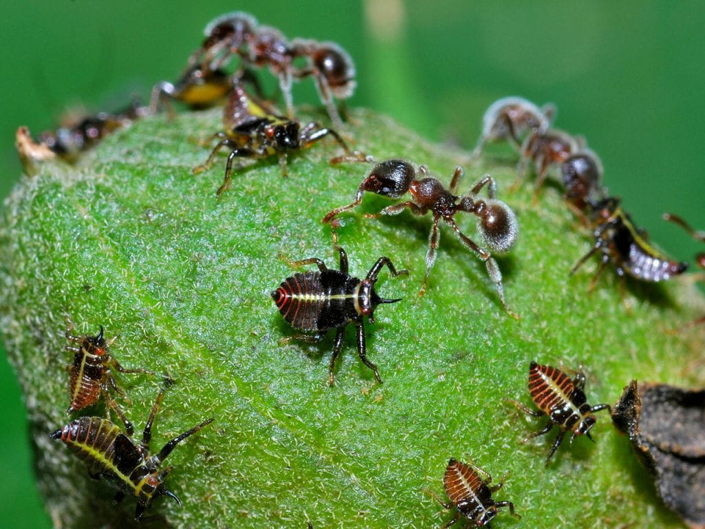 Tettigometrid nymphs (possibly Euphyonarthex) attended by ants