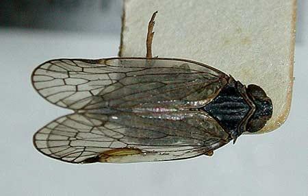 Reptalus panzeri