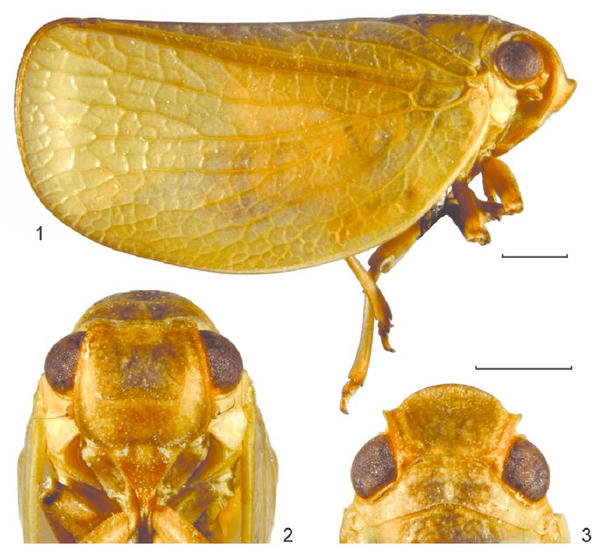 Bulldolonia depressa (Melichar 1901) lectotype