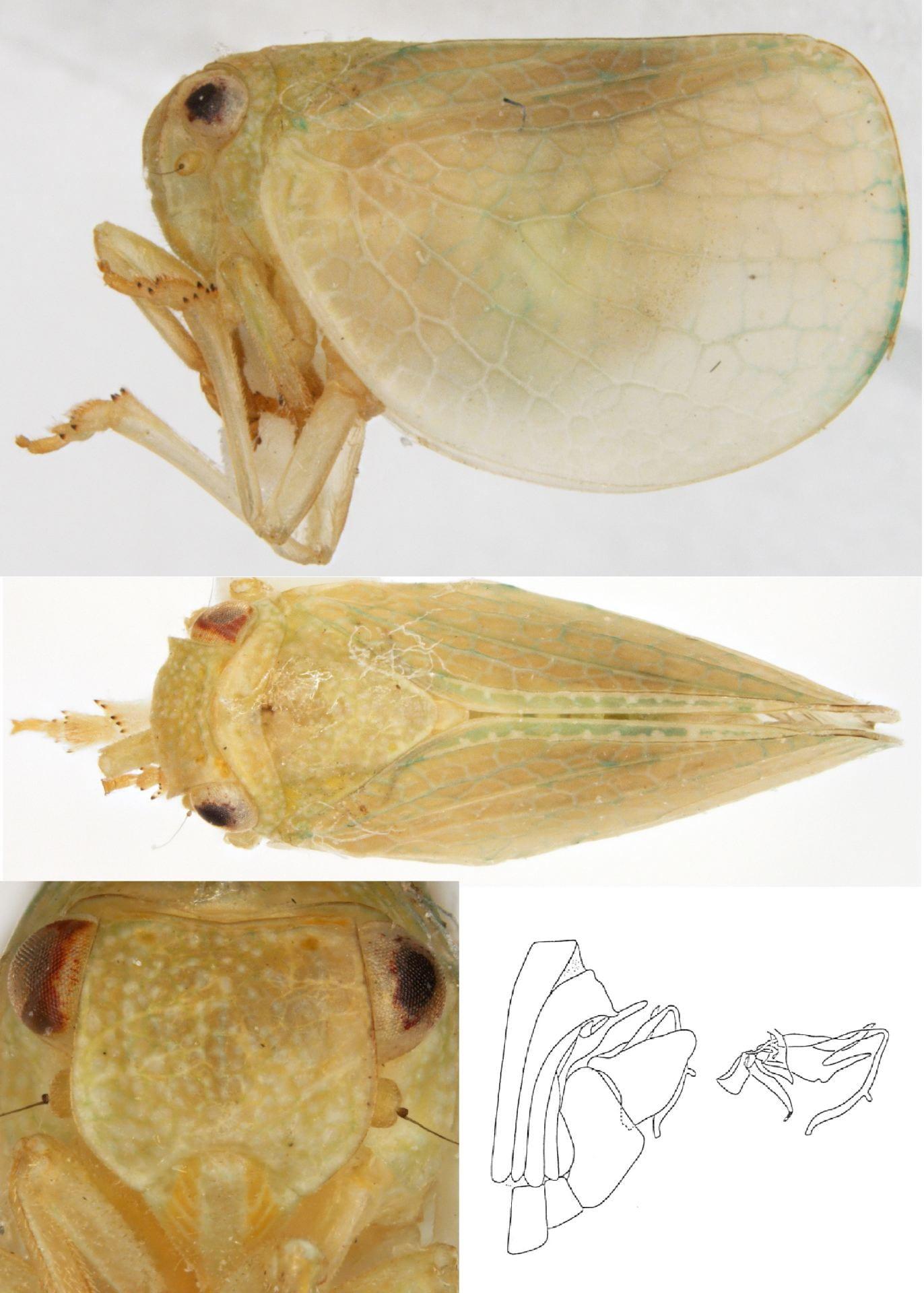 Acanalonia immaculata