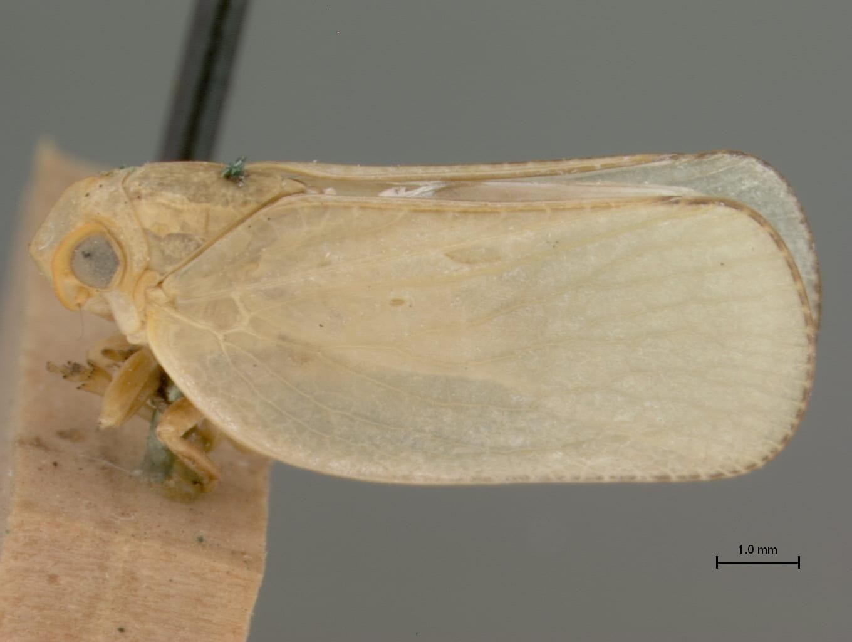 Bulldonia impressa Metcalf & Bruner, holotype (image from Bob Blinn at NCSU)