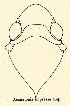 Acanalonia impressa from Metcalf and Bruner 1930
