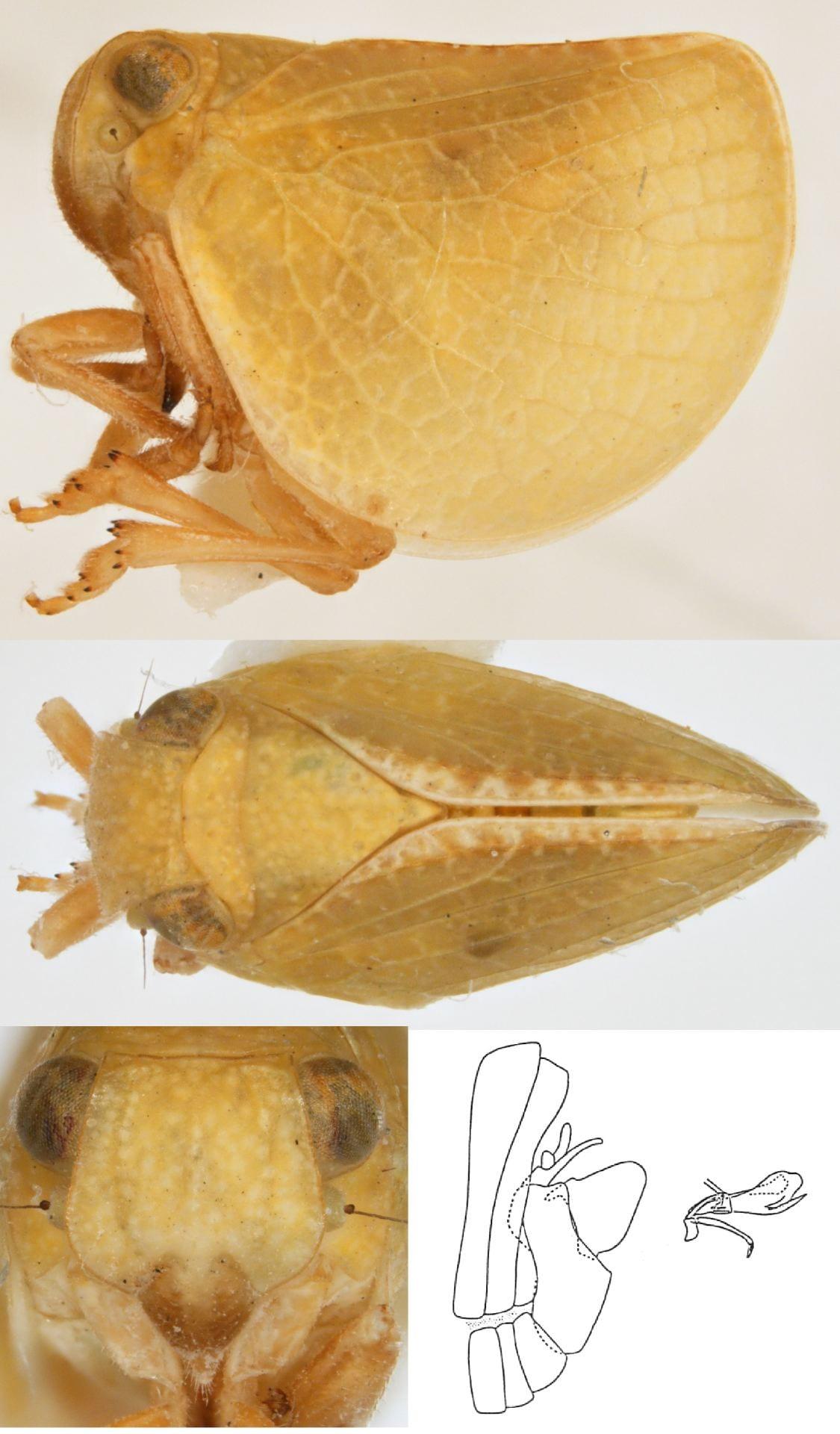 Acanalonia invenusta