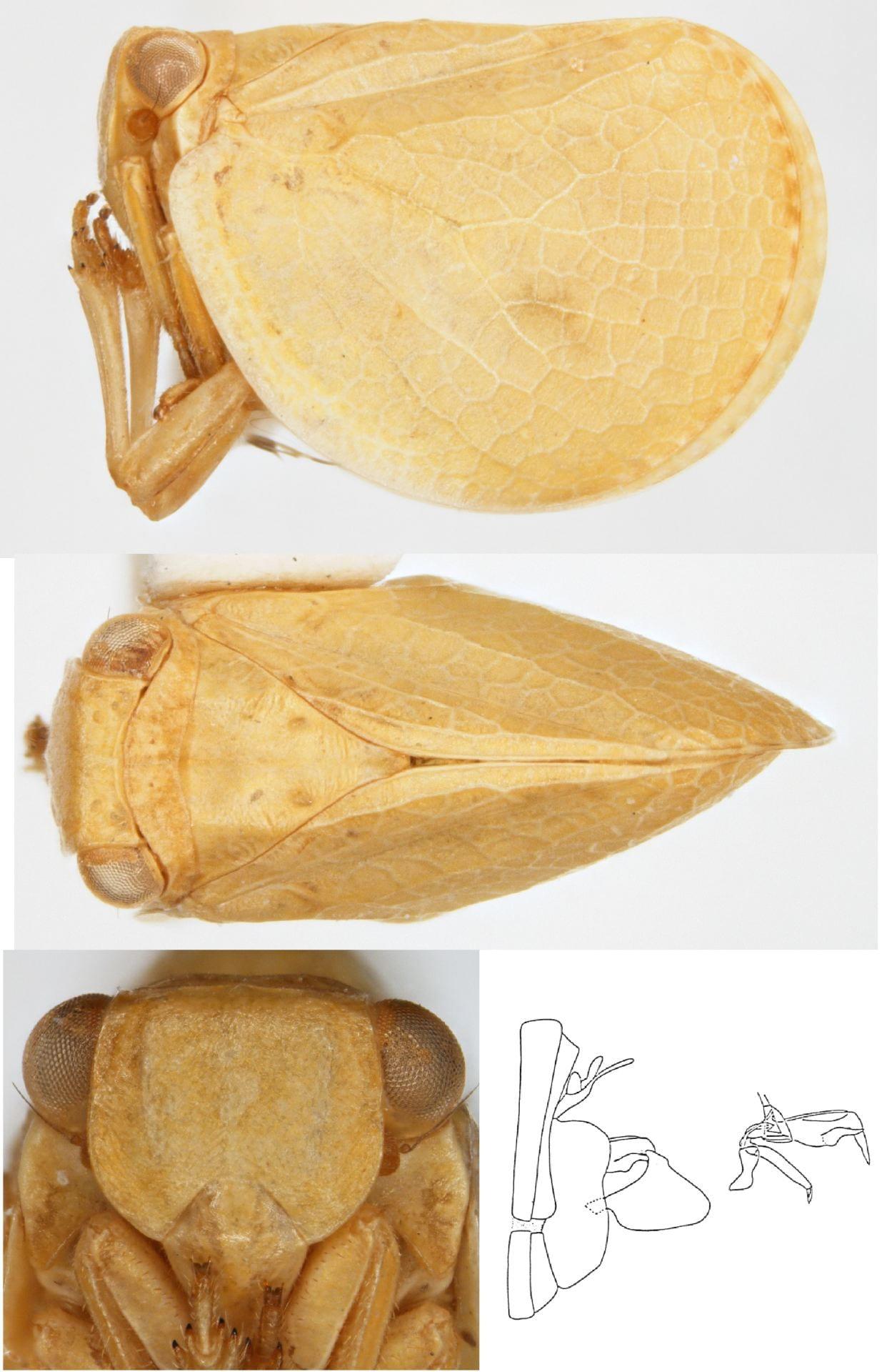 Acanalonia laticosta