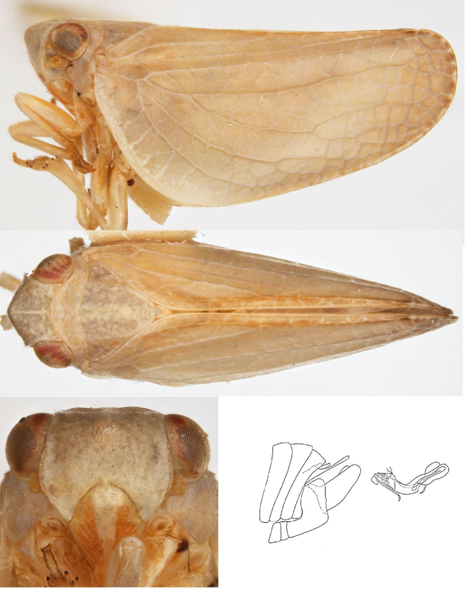 Acanalonia mollicula
