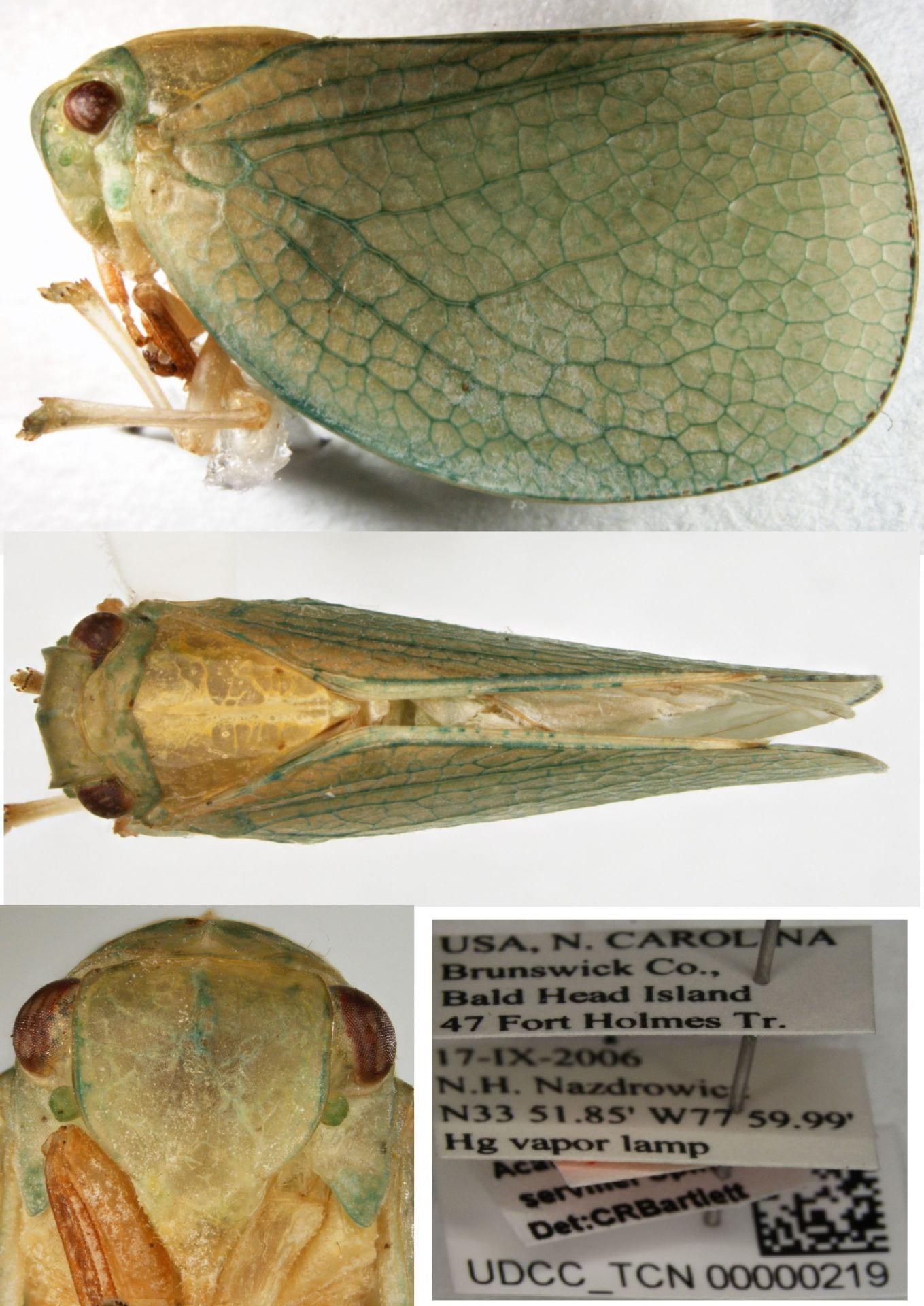 Acanalonia servillei