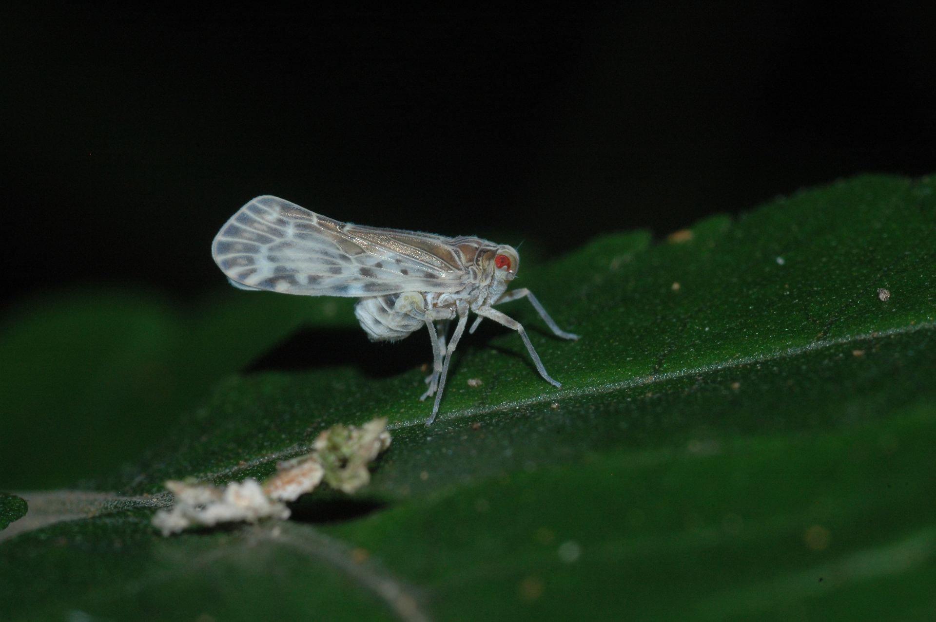 Achilixiidae, Bebaiotes