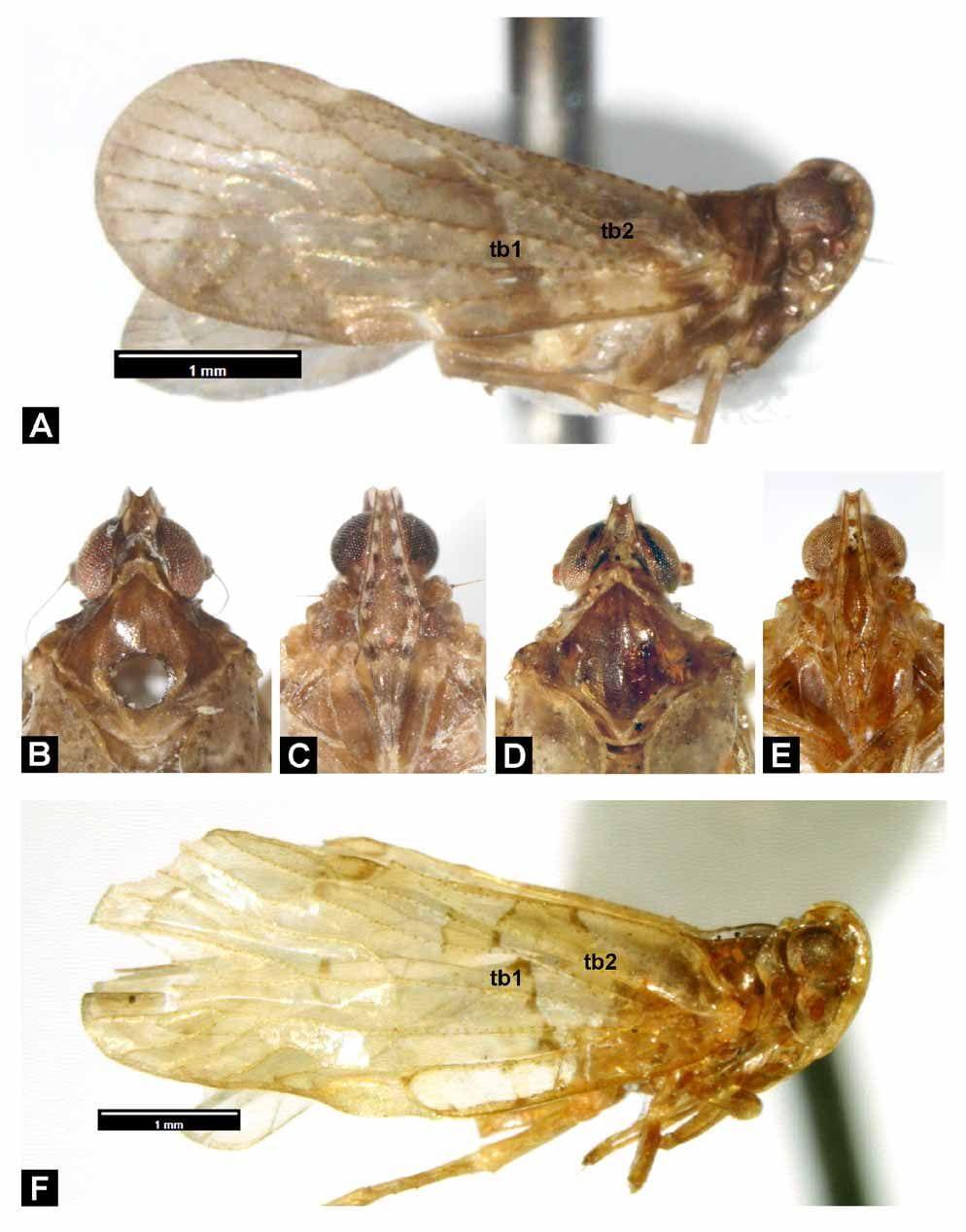 FIGURE 1. Andes dosserius