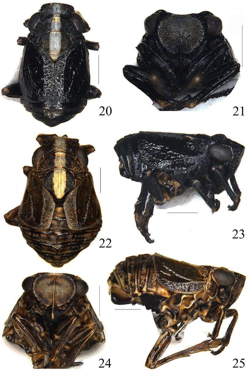 Peltonotellus niger