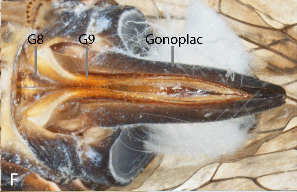 Ovipositor of Cixiidae