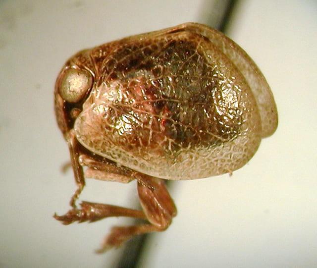Lipocallia australensis