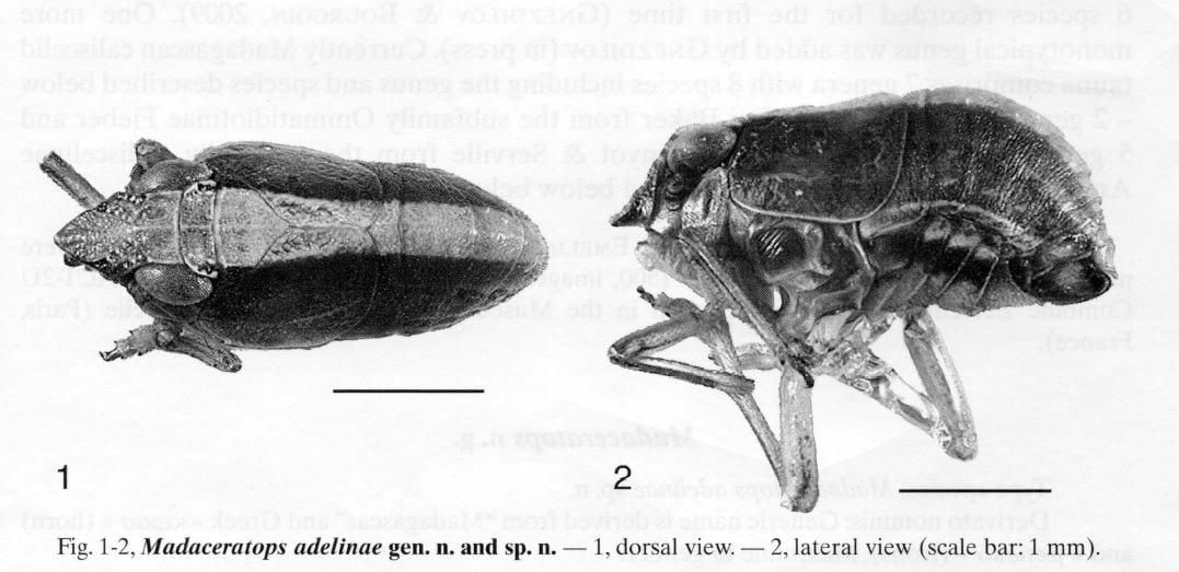 Madaceratops adelinae Gnezdilov, 2011