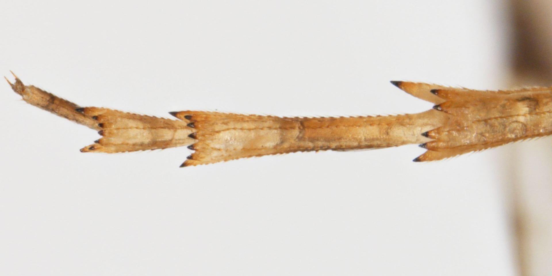 Melanoliarus placitus tarsus