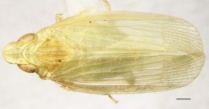 Neurotmeta viridis