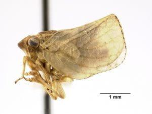 Philatis vicinus type specimen
