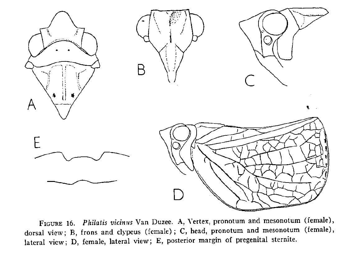 Philatis vicinus Van Duzee