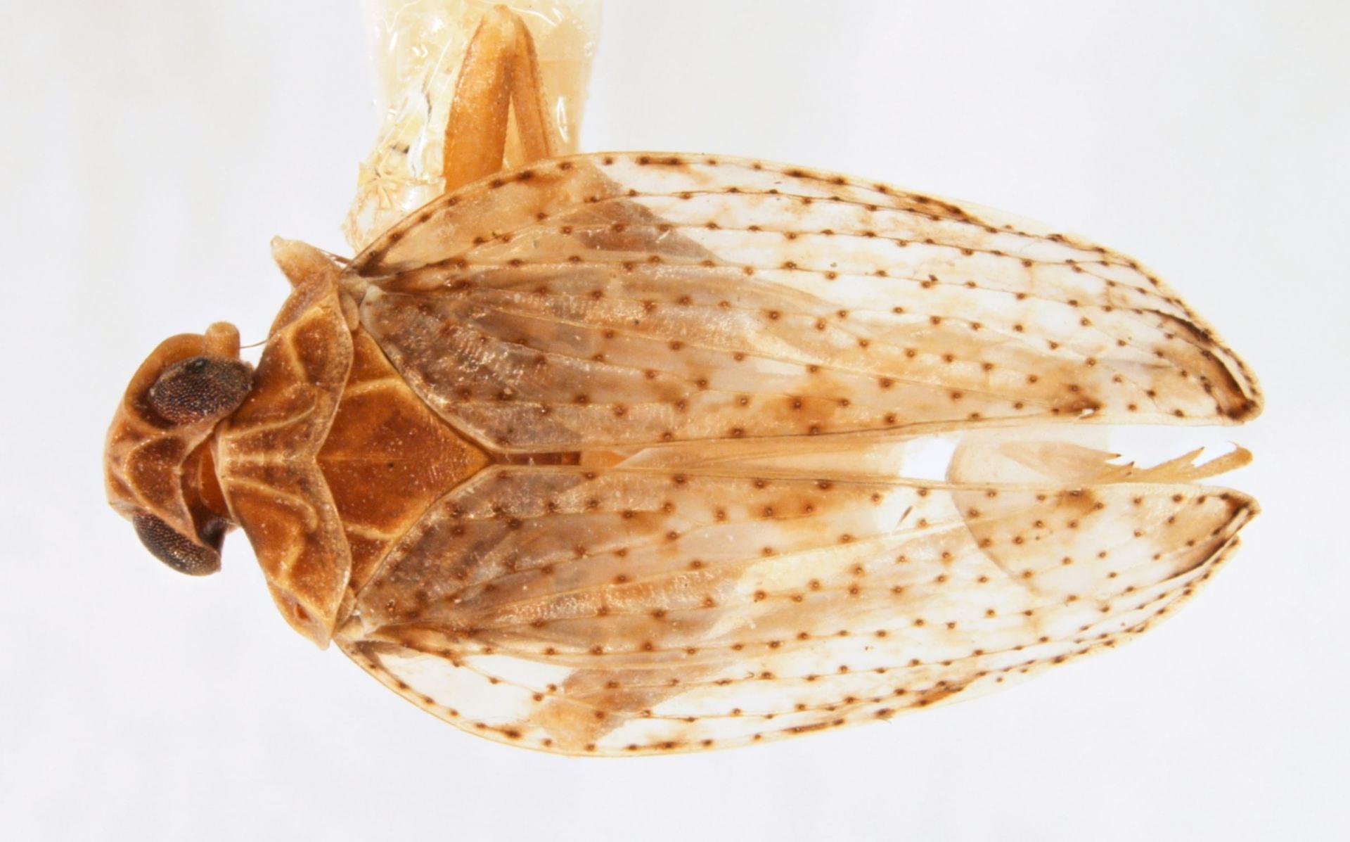 Stegocixius lochites Holotype