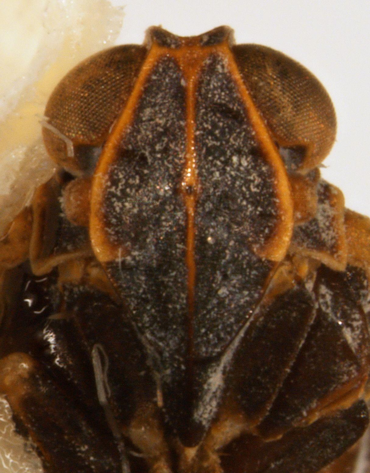 Melanoliarus maidis