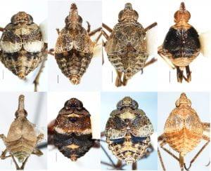 Dictyopharidae (Orgeriinae)