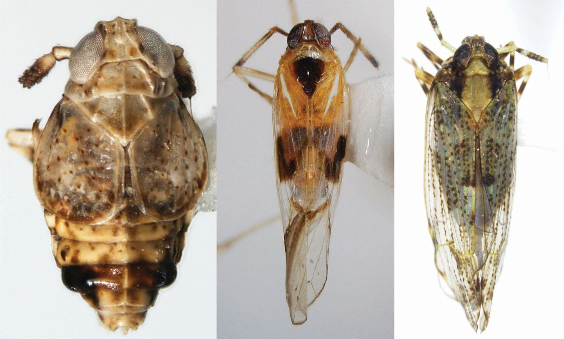 Pissonotus quadripustulatus, Lamaxa occidentalis, Ugyops stigmata