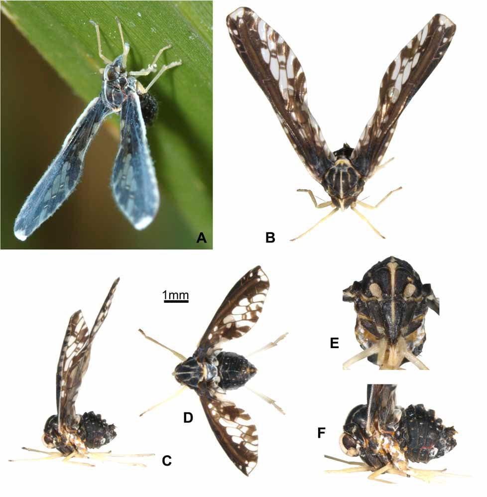 Proutista moesta from Locker et al 2009