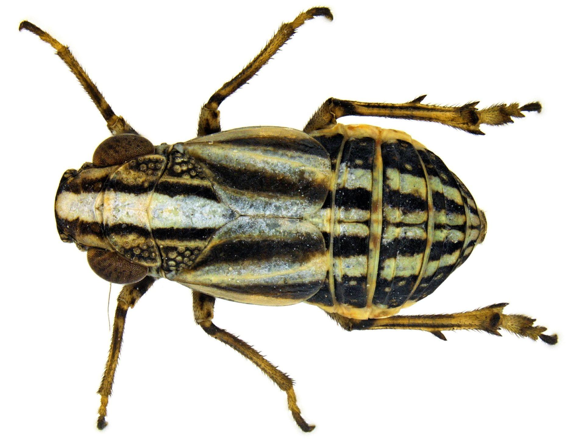 Aphelonema histrionica
