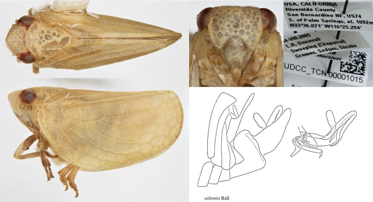 Acanalonia saltonia (photos University of Delaware, line art redrawn by Steve Wilson)