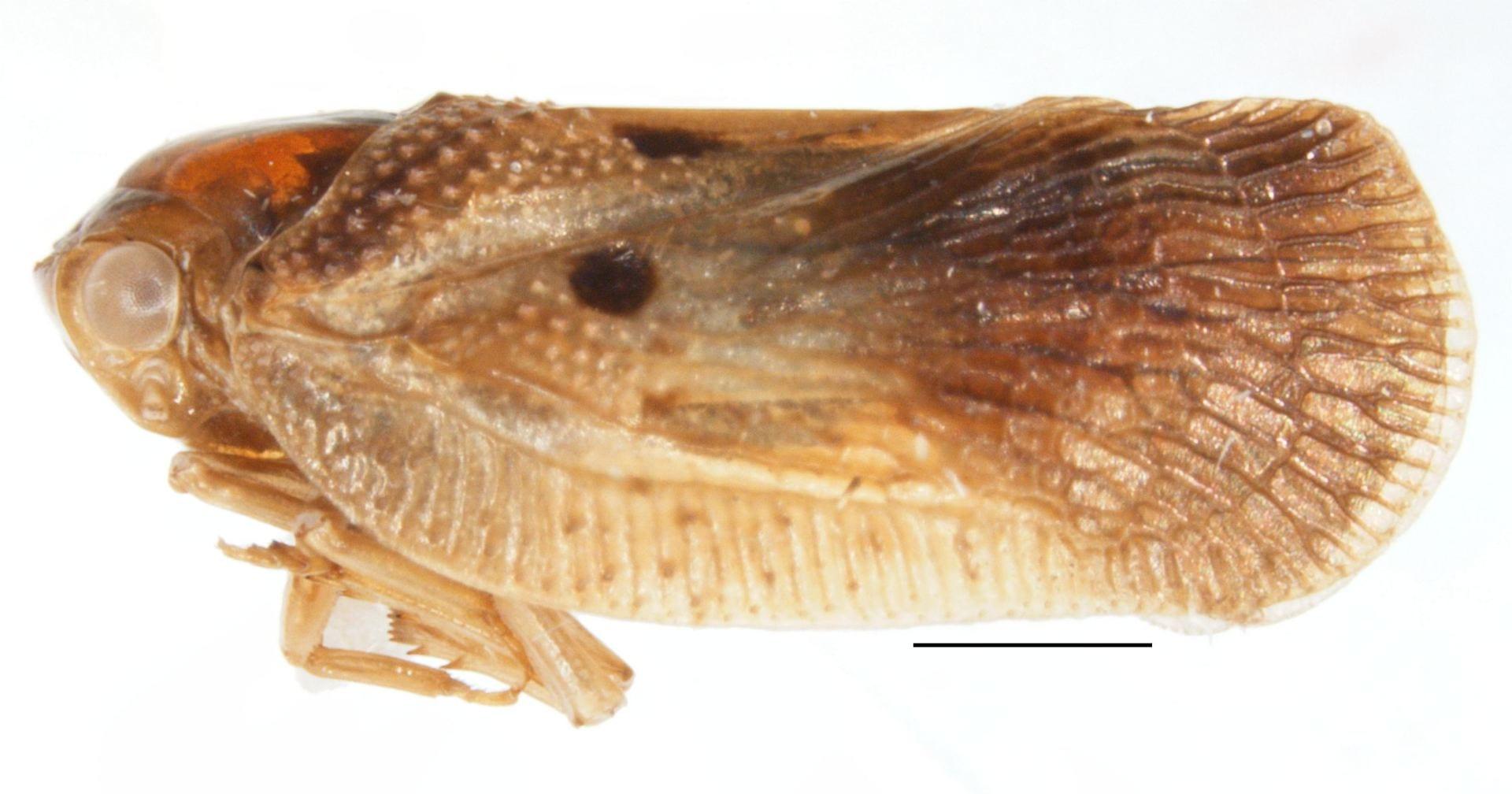 Melormenis basalis