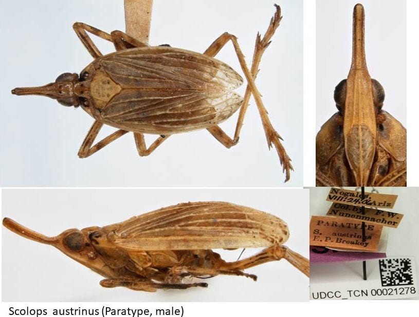 Scolops austrinus