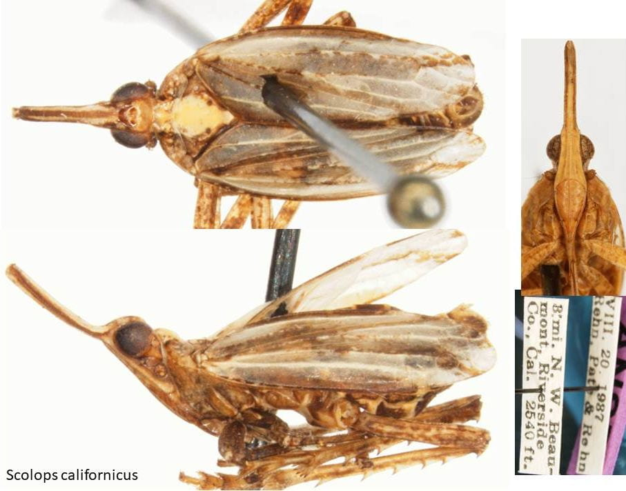 Scolops (Belonocharis) californicus (female)