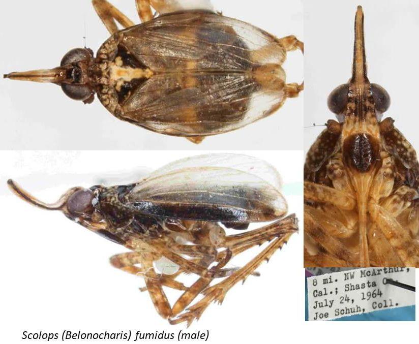 Scolops (Belonocharis) fumidus