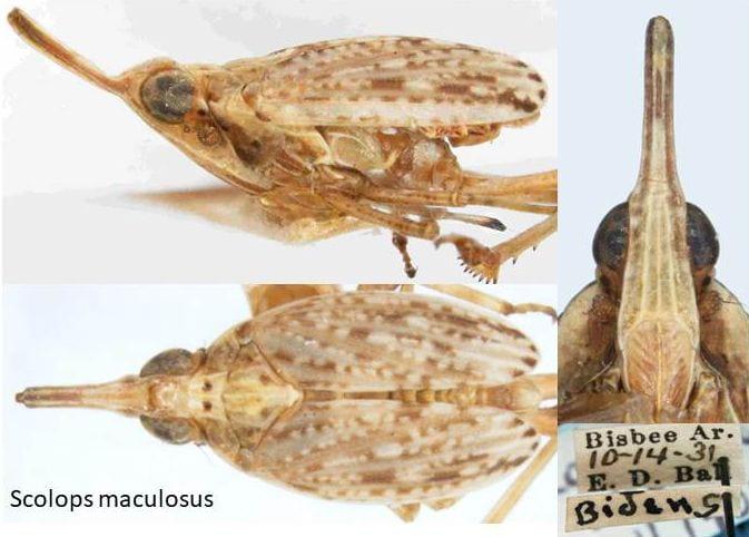 Scolops maculosus