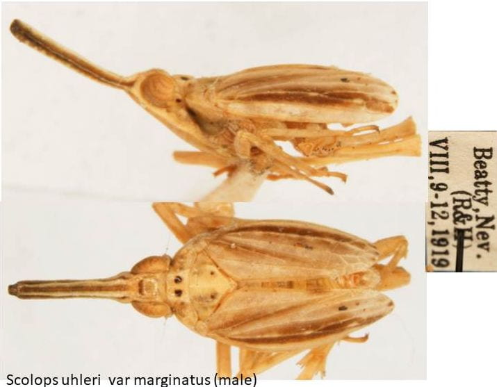 Scolops uhleri var marginatus