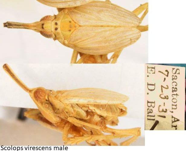 Scolops virescens