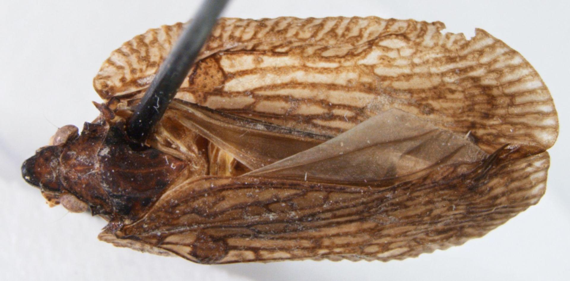 Flatoides enota