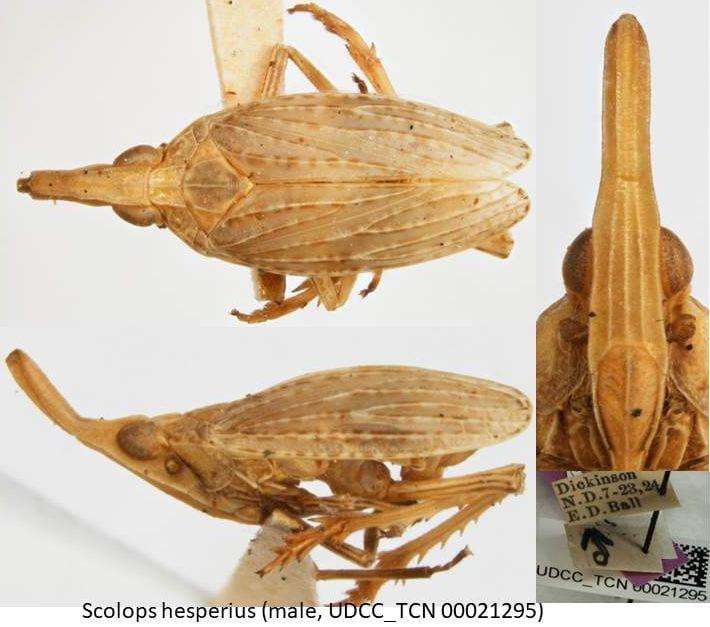 Scolops hesperius