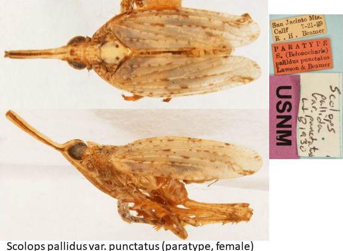 scolops pallidus punctatus